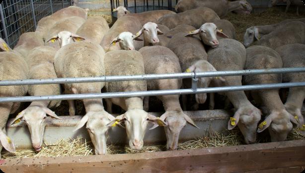 predaj oviec